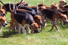 Pack of hunting hounds A Stock Image