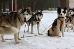 A pack of huskies in harness. Stock Photos