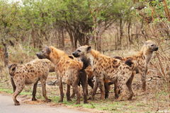 Pack of Hyena bonding in the Kruger Park Royalty Free Stock Images