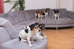 A pack of Jack Russell Terrier are sitting on a sofa stock image