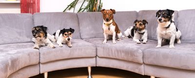 A pack of Jack Russell Terrier are sitting on a sofa stock photography
