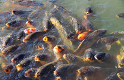 Pack of a large Carp fish Royalty Free Stock Photography