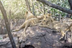 Pack of lion rest on the rock. In a zoo of Thailand. Group of female lion in day light on the rock Royalty Free Stock Photo