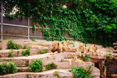 Pack of lions in zoo Royalty Free Stock Images