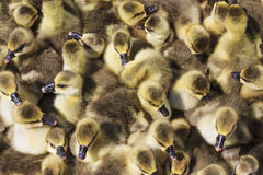 Pack of little goslings Royalty Free Stock Photos