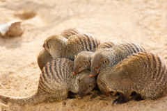 Pack of mongooses Royalty Free Stock Photography