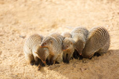 Pack of mongooses Stock Photography