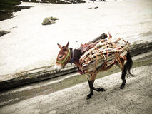 Pack Mule carrying firewood Stock Image