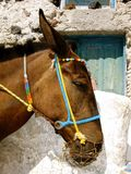 Pack mule in colorful harness on Santorini, Greece Royalty Free Stock Photography