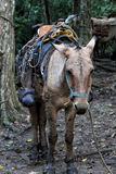 Pack mule Royalty Free Stock Photos