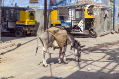 Pack Mule in the Streets of Jodhpur, India Stock Photos