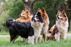 Free Pack Of Cute Elo Dogs Outdoors Royalty Free Stock Image - 156036636
