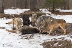Free Pack Of Five Grey Wolves Canis Lupus Examine And Pull At Deer Kill Winter Royalty Free Stock Photography - 184399837