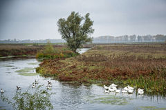 Free Pack Of Gooses Swimming In Comana Delta  Stock Images - 28991554