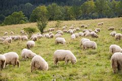 Pack Of Sheeps Royalty Free Stock Photos