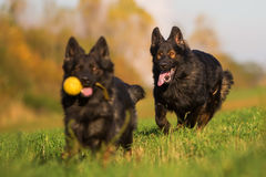Pack of Old German Shepherd Dogs Stock Photography