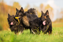 Pack of Old German Shepherd Dogs Royalty Free Stock Photography