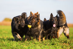 Pack of Old German Shepherd Dogs Stock Images