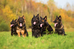 Pack of Old German Shepherd Dogs Royalty Free Stock Images