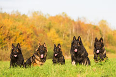 Pack of Old German Shepherd Dogs Royalty Free Stock Photo