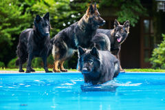 Pack of old German shepherd dogs at the pool Royalty Free Stock Image