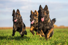 Pack of Old German Shepherd Dogs Royalty Free Stock Photos