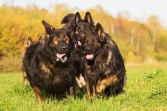 Pack of Old German Shepherd Dogs Stock Photos