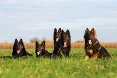 Pack of Old German Shepherd Dogs Royalty Free Stock Image