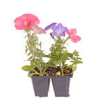 Pack of petunia seedlings ready for transplanting. Pack containing seedlings of petunia plants flowering in blue and pink ready for transplanting into a home Stock Photos