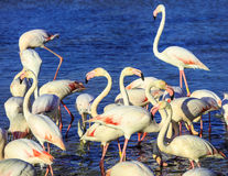 Pack of pink flamingos Royalty Free Stock Images