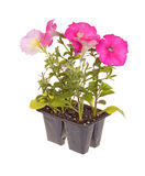 Pack of pink-flowered petunia seedlings. Pack containing four seedlings of pink-flowering petunia plants ready for transplanting into a home garden isolated Royalty Free Stock Photo