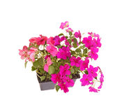 Pack of pink and purple impatiens seedlings ready for transplant. Pack containing two seedlings of impatiens plants (Impatiens wallerana) flowering in pink and Royalty Free Stock Photography