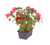 Pack of pink and red impatiens seedlings. Pack containing three seedlings of impatiens plants (Impatiens wallerana) flowering in pink and red ready for Royalty Free Stock Images