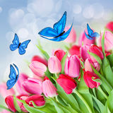 Pack of pink tulips with butterflies. Pack of fresh  pink  tulips with blue butterflies Stock Photography