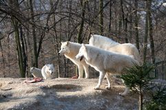 Pack of polar wolves. Pack of polar wolves stand about prey on the hill royalty free stock photos