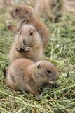 Pack of prairie dogs Stock Images