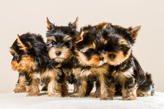 Pack of puppies Yorkshire Stock Image
