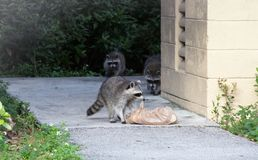 Family of raccoons looking for food stock photography