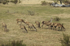 Pack of red deers while eating Royalty Free Stock Image