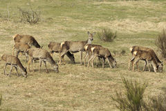 Pack of red deers while eating Stock Image