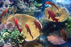Pack of red tropical fishes on a coral reef Royalty Free Stock Image