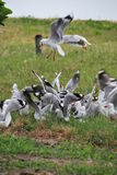 Pack of Seagull Fighting for chips Royalty Free Stock Image
