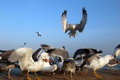 The pack of seagulls stock photo