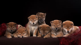 Pack of seven shiba inu puppies and looking in Royalty Free Stock Images