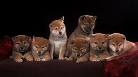 Pack of seven shiba inu puppies and looking in Stock Photo