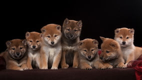 Pack of seven shiba inu puppies and looking in Stock Photography