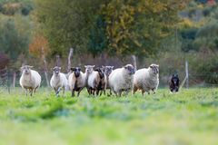 Pack of sheep with an Australian Shepherd dog. On the pasture royalty free stock photo