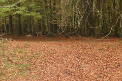 A pack of Sika deers in forrest. Eating and resting royalty free stock images