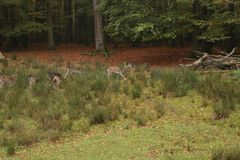 A pack of Sika deers in forrest. Eating and resting stock images