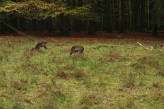 A pack of Sika deers in forrest. Eating and resting stock photo